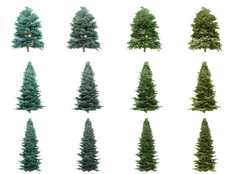 Abies concolor trees on white background. Colorado white fir isolate collection season. (3d illustration with Clipping path)