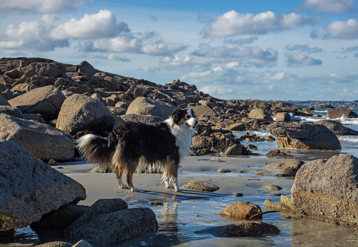 Australian Shepherd Dog on a Breton beach in the middle of rocks