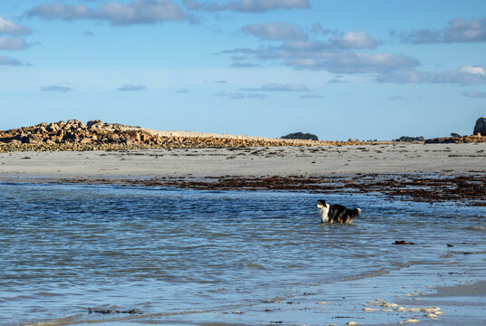 Australian Shepherd Dog walking in the sea