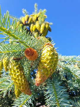 Picea pungens. Yaroslavl. Sunny summer morning in Demidovsky Square. Young branches of spruce.