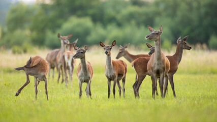 Red deer, cervus elaphus, herd standing on green meadow in spring nature. Group of animals looking on pasture in springtime. Many mammals observing on glade.