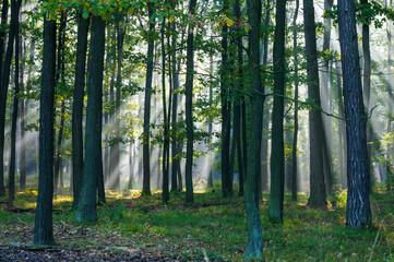 Obraz Ranek w słonecznym lesie - fototapety do salonu