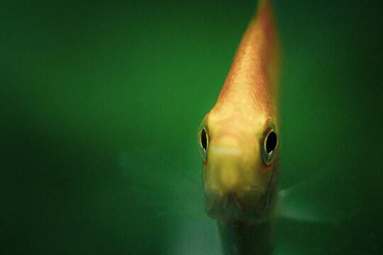 Close-up Macro Shot  Of An  Angel Fish Swimming
