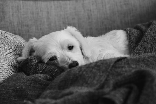 Portrait Of Dog Resting On Sofa At Home