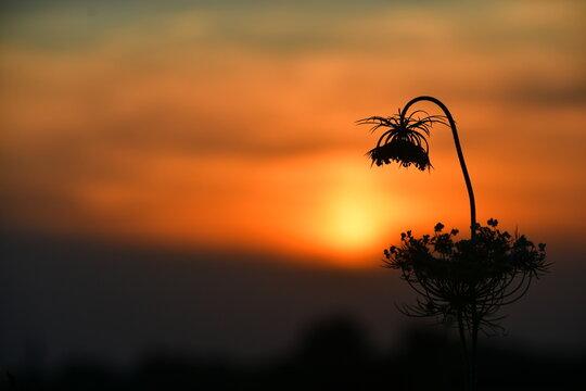 Fiore chinato al tramonto