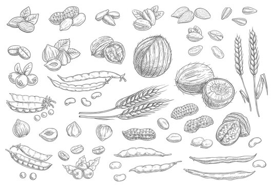 Nuts, cereal grains sketch icons cashew and almonds, peanuts and pistachio seeds, vector. Vegetarian and vegan natural raw food sketch coconut, hazelnut and walnut, peas, wheat, rye and coffee beans