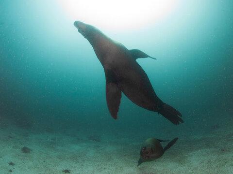 California sea lions swimming (La Paz, Baja California Sur, Mexico)