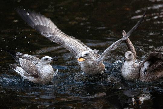 Tres gaviotas en un estanque peleándose por comida. Una de ellas lleva una galleta en la boca