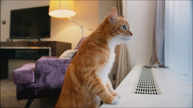 Ginger cat by the window