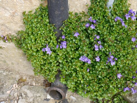 flowers of the wall bellflower (Campanula portenschlagiana), Citadelle de Blaye, France