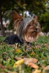 Fototapeta Dog photography / Fotografía canina / Fotografía de perros / Yorkie Pet photography
