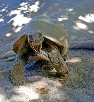 Funny smiling giant turtle. Aldabrachelys gigantea. Portrait gigantic tortoise Aldabra from islands of Aldabra Atoll, is one of largest tortoises in world. Fun animal smile.
