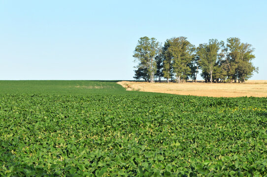 Green fresh soy field with trees on background