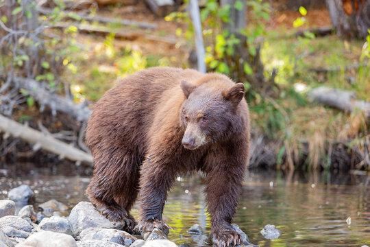 Close up shot of a Bear hunting fish in Lake Tahoe