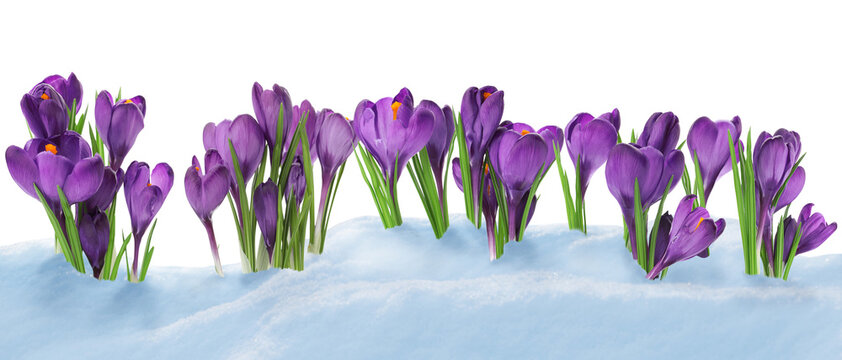 Beautiful crocuses growing through snow against white background, banner design. First spring flowers