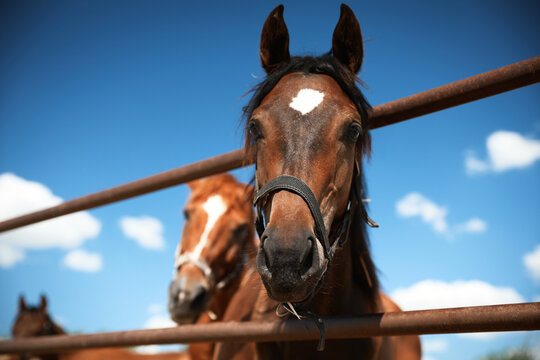 Chestnut horses at fence outdoors on sunny day, closeup. Beautiful pet
