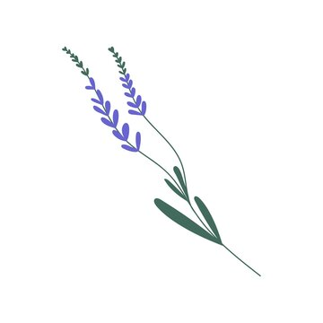 Purple lavender or lavandula with stem and leaves isolated on white background. Delicate lilac flower of lavander. Colorful flat vector illustration