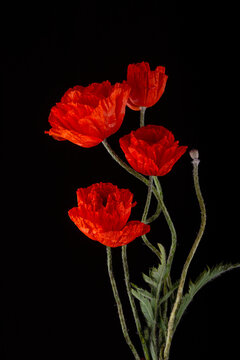 Flowering red garden poppy and undiscovered green buds