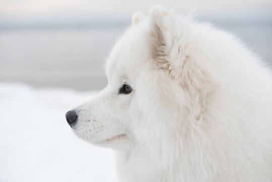 Samoyed white dog muzzle close up is on Saulkrasti beach
