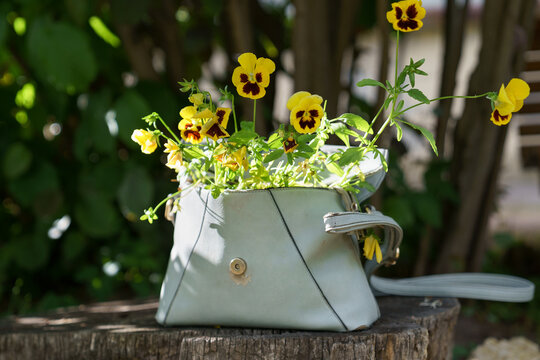Flowering plant pansies with small yellow flowers in old leather women bag outdoor. Reuse of unnecessary things in everyday life. Waste free concept