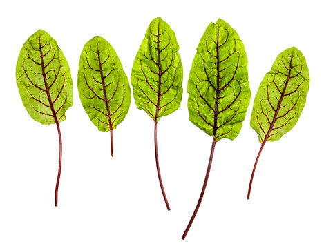 several fresh leaves of green Chard leafy vegetable (mangold, beet tops) isolated on white background