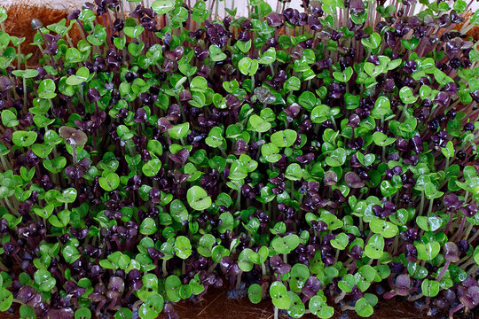 selective focus photo of wet basil microgreens after spraying. city farming indoor concept.