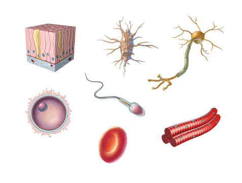Types of human cells