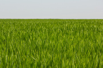 A green crop field in early spring