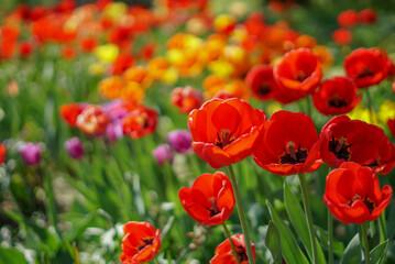 Fototapeta tulipany kwiaty