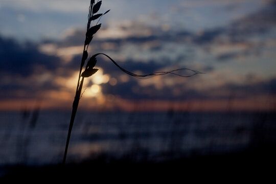 Beach grass in silhouette with sunset in the background