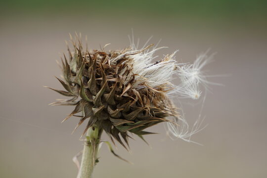 Thistle like plant spreading seeds