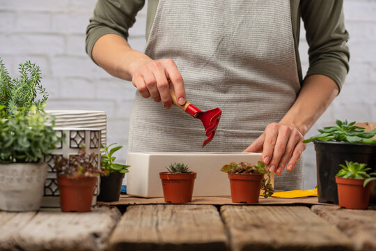 A girl at home makes a plant or flower transplant at home. Working with plants