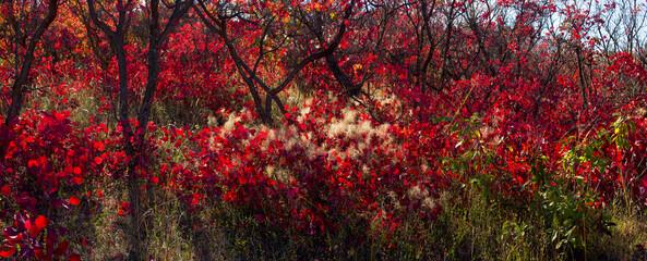 Beautiful autumn red shrub. Azerbaijan.