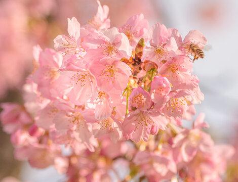 河津桜とミツバチ