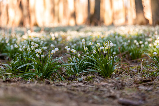 beautiful flower, white spring snowflake (Leucojum vernum) in springtime forest. Jechovec, Czech Republic