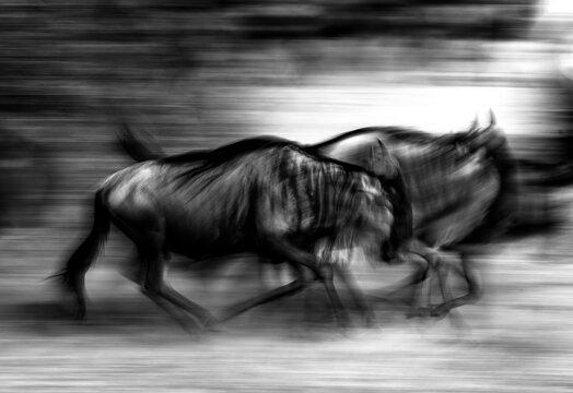Wildebeest - Black and white animal graffiti -
