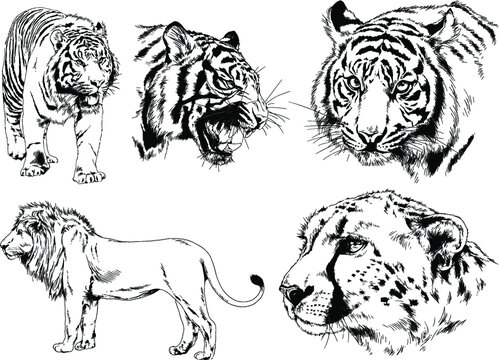 vector drawings sketches different predator , tigers, lions, cheetahs and leopards are drawn in ink by hand , objects with no background
