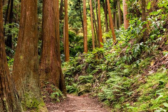 Ein Trail durch den subtropischen Wald der Insel Sao Miguel auf den Inseln der Azoren