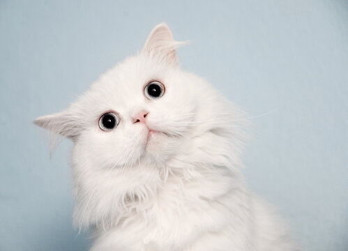 Beautiful fluffy white cat with alert expression