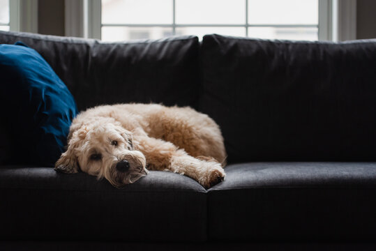 Cute fluffy dog laying on a sofa alone during the day.