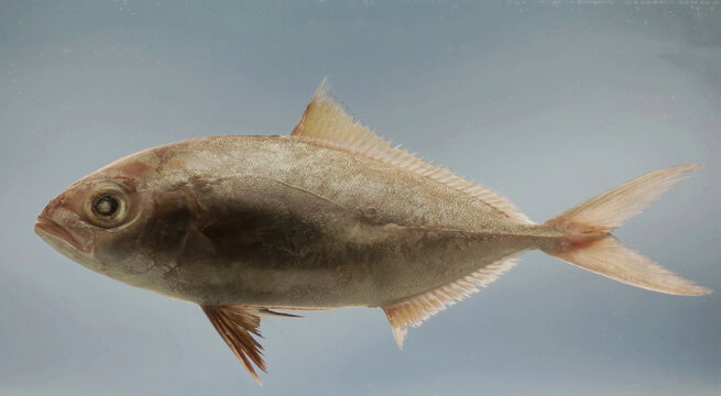 Lesser amberjack ( Seriola fasciata ). Gulf of Mexico.