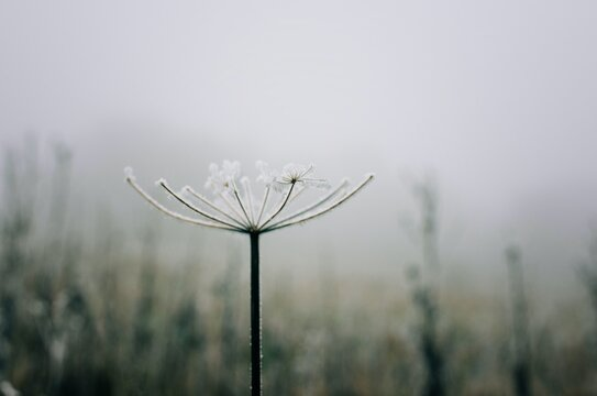 single wilted flower covered in frost in the English countryside