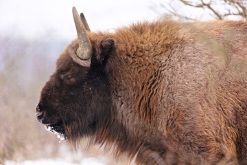 Fototapeta European bison in the beautiful white forest during winter time