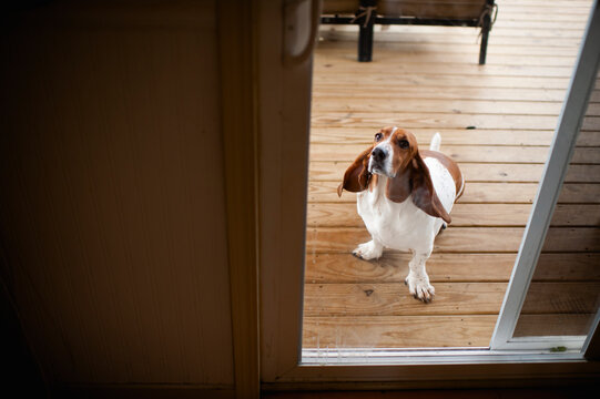 Basset hound dog waiting behind glass door on deck to be let inside