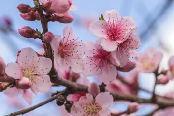 Peach tree blossoms