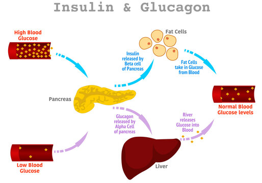 Insulin glucagon. Regulation of high, low blood sugar levels in the blood by the pancreas, stages. Liver, fat, alpha, beta cell, glucose function. Diabetes treatment steps.  Illustration vector