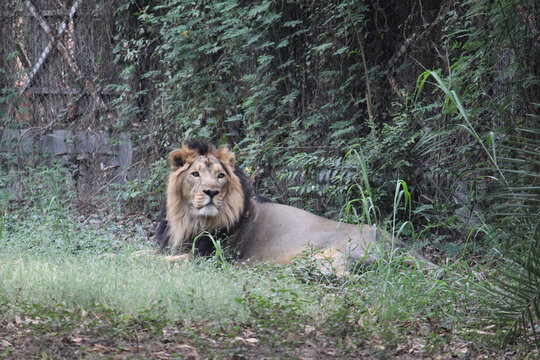 Beautiful view of a lion lying down on green grass at the zoo