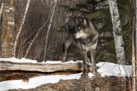Black-Phase Grey Wolf (Canis lupus) Stands Straddling Top of Log Winter