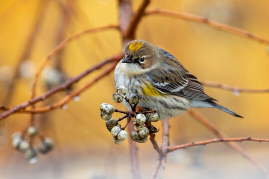 Yellow Rumped Warbler Perched on Bare Branch W Overcast Gloom