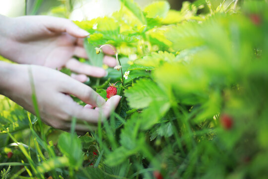 Farmer hand holding growing organic natural ripe red strawberry checking ripeness for picking hatvest. Tasty juice healthy berries plantation. Agricultural plant food business